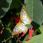 White Peacock Anartia jatrophae Butterfly