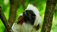 Cotton-Top-Tamarin