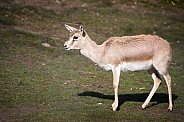 Black-tailed gazelle