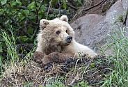 Brown bear resting on a ledge
