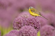 Yellow Wagtail bird