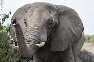 African Elephant (Loxodonta africana) - Botswana