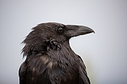 Raven portrait looking to the right.  Corvus corax
