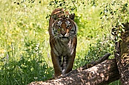 Bengal Tiger In Bushes