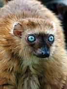 Blue eyed black lemur (Eulemur flavifrons)