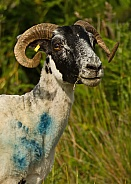 Scottish Blackface Sheep (Shorn)