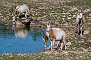 Oryxes at the Water Hole