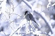 Canada or Gray Jay