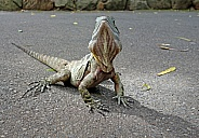 Eastern Bearded Dragon Lizard