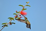 Hummingbird - Young Broad-billed