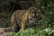 Sumatran tiger walking full body