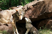 Wolf and Wolf Pups
