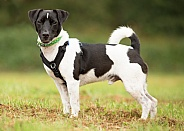 Black and White Terrier