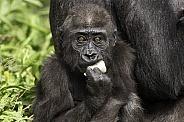 Baby Western Lowland Gorilla Eating