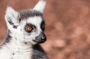Ring Tailed Lemur Face Shot Close Up