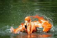 splashing american flamingo