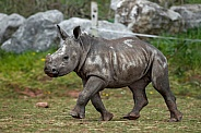 Baby White Rhino Walking