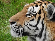 Amur tiger head shot