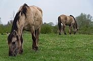 Wild horses and foals