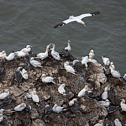 Gannet colony at Bempton Cliffs - England
