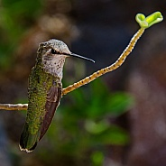 Hummingbird - Lady Anna's