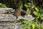 Dwarf Mongoose - Botswana