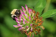 Common Carder bee