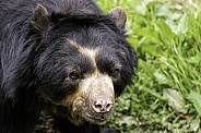 Spectacled Bear Close Up Head Shot