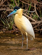 Capped Heron in a Stream