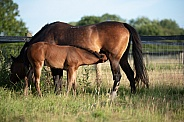 Filly Nursing