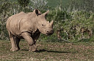 White Rhino Calf Full Body
