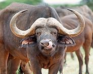 African Buffalo Grooming