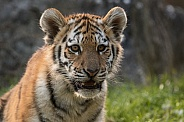 Amur Tiger Cub - Close Up