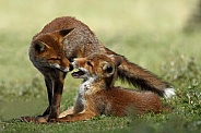 Two juvenile red foxes