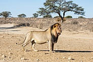 Male Kalahari Lion
