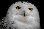Snowy Owl Staring Right At Camera