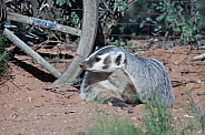 American badger Taxidea taxus
