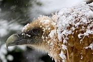The griffon vulture (Gyps fulvus)