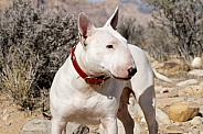 White bull terrier in the NV Desert posing for a portrait