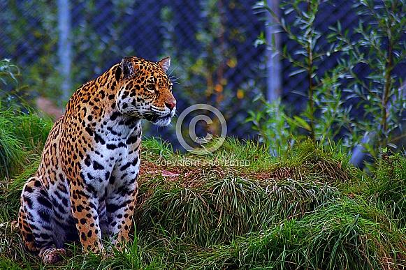 Jaguar from Safari Zoo
