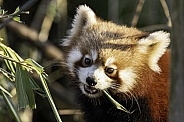 Red Panda Youngster Face Shot Eating Bamboo