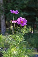 Cosmos Flowers Bloom in Alaska