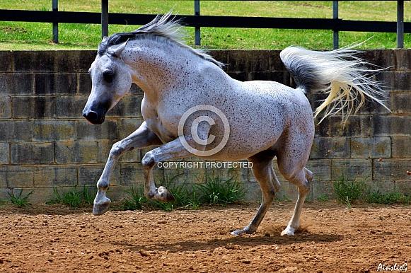 Leap To Your Faith- Arabian Stallion