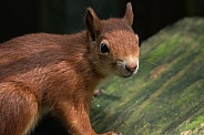 Red Squirrel Looking At Camera
