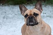 Fawn French Bulldog Close Up