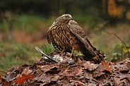 goshawk with prey