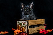 A black halloween kitten