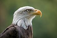 Bald Eagle ((Haliaeetus leucocephalus)