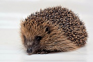 Female Hedgehog
