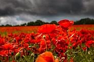 Common Field Poppies